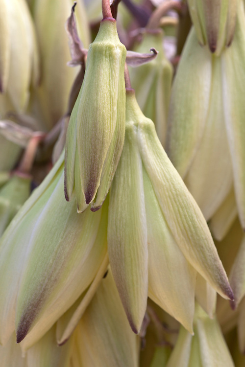 Banana yucca (Yucca baccata) blooms in the Tonto National Forest, Arizona, USA