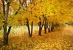 Idaho, North, Kootenai County, Kingston. A row of golden maple trees along the Coeur d Alene River road near Kingston in autumn.