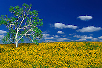 A sycamore tree, Platanus  occidentalis, in an idyllic meadow of blooming yellow tickseed, Bidens polylepis,