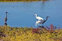 Tricolored Heron, Snowy Egret, and Little-Blue Heron, Pacific side Baja Sur, Mexico
