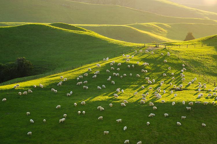 Sheep grazing, farmland, Taranaki, New Zealand - stock photo, canvas, fine art print