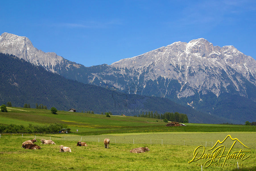 Cows with bells, Austra, Tyrol,