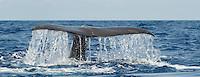 Sperm whale, Physeter macrocephalus, Pico, Azores, Portugal.