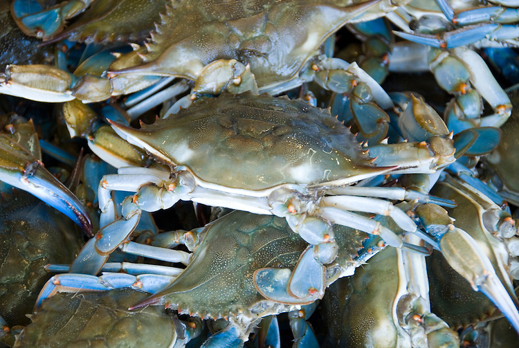 Washington DC, Food, fresh fish and shellfish market on Maine Ave, selling Chesapeake Bay blue crab and various fish, such as fillet of red snapper, all fresh and live off the boats.  Photo is closeup of large male blue crab from Chesapeake Bay..Photo  wash99322-70648..Photo copyright Lee Foster, www.fostertravel.com, lee@fostertravel.com, 510-549-2202.