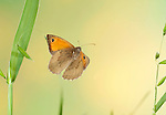 Meadow Brown Butterfly, Maniola jurtina, In flight, free flying, High Speed Photographic Technique.United Kingdom....