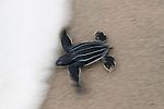 Leatherback turtle (Dermochelys coriacea) baby freshly hatched out of its nest rushing towards the sea.