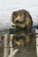 Muskrat eating by the icy edge of a pond