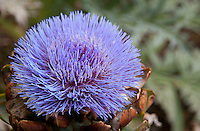 A flowering globe artichoke seen from the top/side.  Artichokes are thistles; the bracts of the flower can be seen beneath the