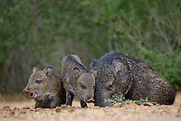 650520336 wild javelinas or collared peccaries dicolytes tajacu forage near a waterhole on santa clara ranch in starr county rio grande valley texas united states