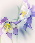 Columbines bloom in the summer in Montana and many other states.
