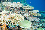 Paradise Reef, Taveuni, Fiji; numerous staghorn plate coral formations sit close to one another on a wall of coral reef