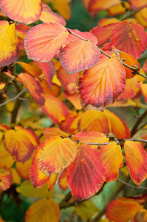 Autumn foliage of witch hazel (Hamamelis x intermedia 'Orange Peel'), early November.