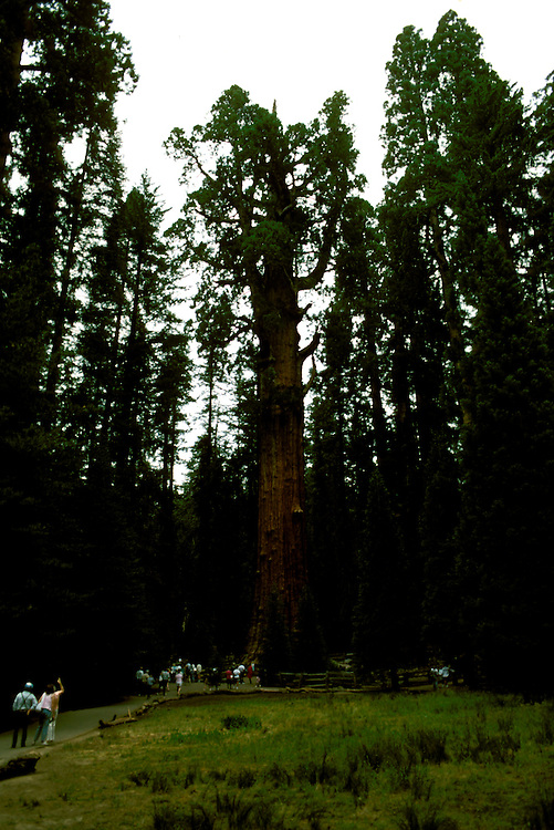 CA: Sequoia-Kings Canyon National Park, General Sherman Tree, Largest of the Sequoia trees, sequoiadendron giganteu, largest tree on earth         .Photo Copyright: Lee Foster, lee@fostertravel.com, www.fostertravel.com, (510) 549-2202.Image: catree205