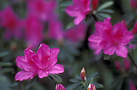 Stock photo of a close-up of azaleas on Azalea Trail at the Bayou Bend Collection and Gardens