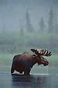 Moose standing in lake near Dalton Highway, Brooks Range, Alaska