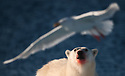 BIRDWATCHER - Polar bear (Ursus maritimus) looking at a Glaucous Gull (Larus hyperboreus) in Svalbard