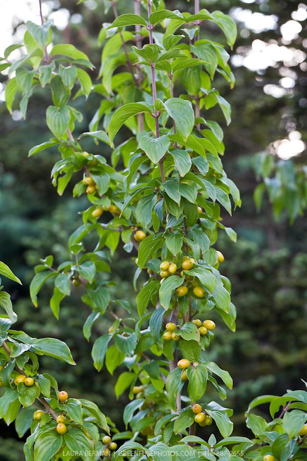 yellow cornelian cherry cornus mas 39 aurea 39 greenfuse. Black Bedroom Furniture Sets. Home Design Ideas
