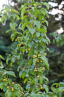 The large yellow fruit of Yellow Cornelian cherry (Cornus mas 'Aurea')