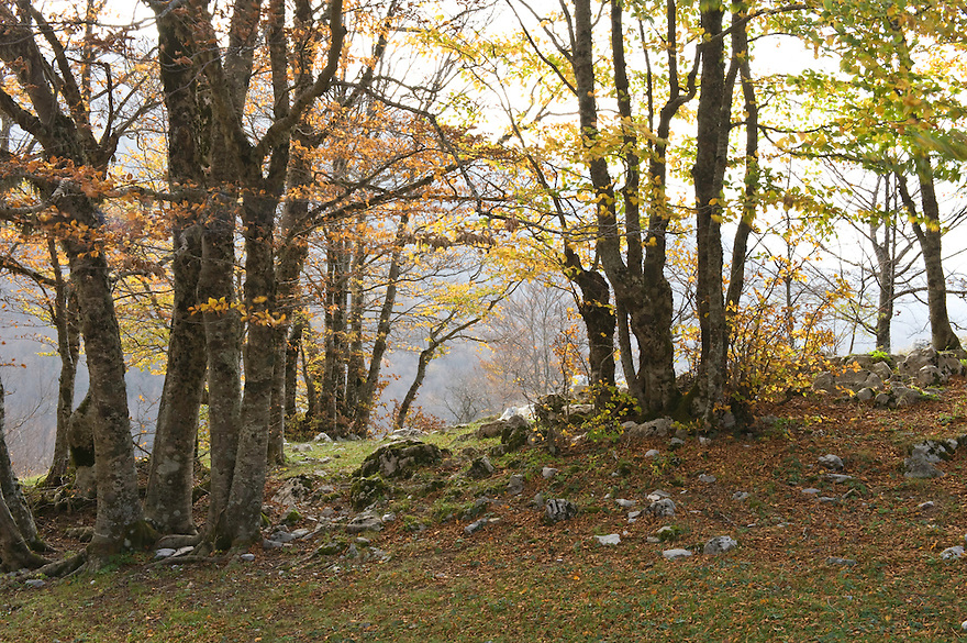 Common beeches (Fagus sylvatica) at the Valle Zeperna, Basilicata/Calabria, Pollino National Park, Italy. November 2008. Mission: Pollino National Park