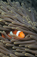 lv840. False Clown Anemonefish (Amphiprion ocellaris) hiding in sea anemone tentacles. Thailand, Indian Ocean..Photo Copyright © Brandon Cole. All rights reserved worldwide.  www.brandoncole.com..This photo is NOT free. It is NOT in the public domain. This photo is a Copyrighted Work, registered with the US Copyright Office. .Rights to reproduction of photograph granted only upon payment in full of agreed upon licensing fee. Any use of this photo prior to such payment is an infringement of copyright and punishable by fines up to  $150,000 USD...Brandon Cole.MARINE PHOTOGRAPHY.http://www.brandoncole.com.email: brandoncole@msn.com.4917 N. Boeing Rd..Spokane Valley, WA  99206  USA.tel: 509-535-3489