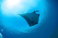 Manta Ray at molokini Maui Hawaii .This rays can reach 20 feet wing span.