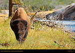 Bison, Firehole River, Yellowstone National Park, Wyoming