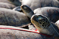 These illegal fishermen had over 200 turtles in the hold of their boat, captured in Malaysian waters in the South China Sea. The turtles were dead, gutted and partially dried.  The boat was intercepted by Sabah Marine Police, the fishermen arrested and the boat confiscated.
