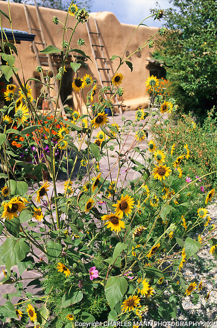 Susan Blevins of Taos, New Mexico, created an elaborate home garden featuring containers, perennial beds, a Japanese themed path and a regional style that reflects the Spanish and pueblo architecture of the area. Annual sunflowers brighten a late summer scenario.