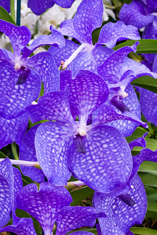 orchid stock photos  species  hybrids  images  plant  flower, Beautiful flower