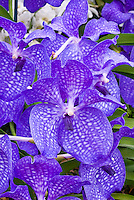 Orchid Blue Vanda