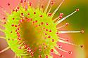 Common Sundew {Drosera rotundifolia} growing in bogland, Lake District, Cumbria, UK