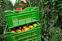 A Moroccan immigrant worker pushes a hand cart full of unripe tomatoes in the greenhouse in El Ejido, Spain, 22 May 2007. El Ejido, a dry region on the coast of Andalusia, has changed during the last decades into the centre of vegetable production not only for the Spanish market. A half of Europe is supplied by tomatoes, peppers and melons from El Ejido. This economic miracle is from a major part based on a cheap labor force of illegal immigrants from Maghreb and Subsaharian Africa. Tens of thousands of workers keep the plastic sea of greenhouses running for the minimum wage of 30 Euros a day.