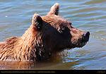Alaskan Coastal Brown Bear Fishing, Close Portrait, Silver Salmon Creek, Lake Clark National Park, Alaska