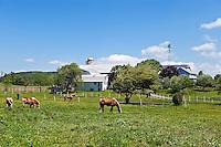 Horses grazing in farm pasture.