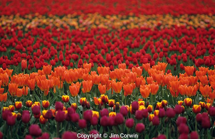 Multi-colored tulip fields Skagit County near Mount Vernon Washington State USA