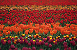 Multi-colored tulip fields Skagit County near Mount Vernon Washington State USA