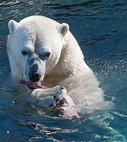 A Polar bear (Ursus maritimus - ours polair or Ours blanc) is pictured at the Aquarium du Quebec in Quebec city March 2, 2010. The Aquarium is the home of 10,000 marine animals including fish, reptiles, amphibians, invertebrates, and sea mammals.