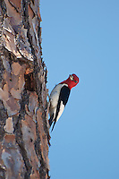 "The official status of the red-headed woodpecker is ""near threatened"" and their population is in a decline."