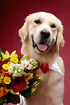 Portrait of One year old Golden Retriever with flowers. Isolated on red background. Brody - Gray Valley Kennels - Toronto.