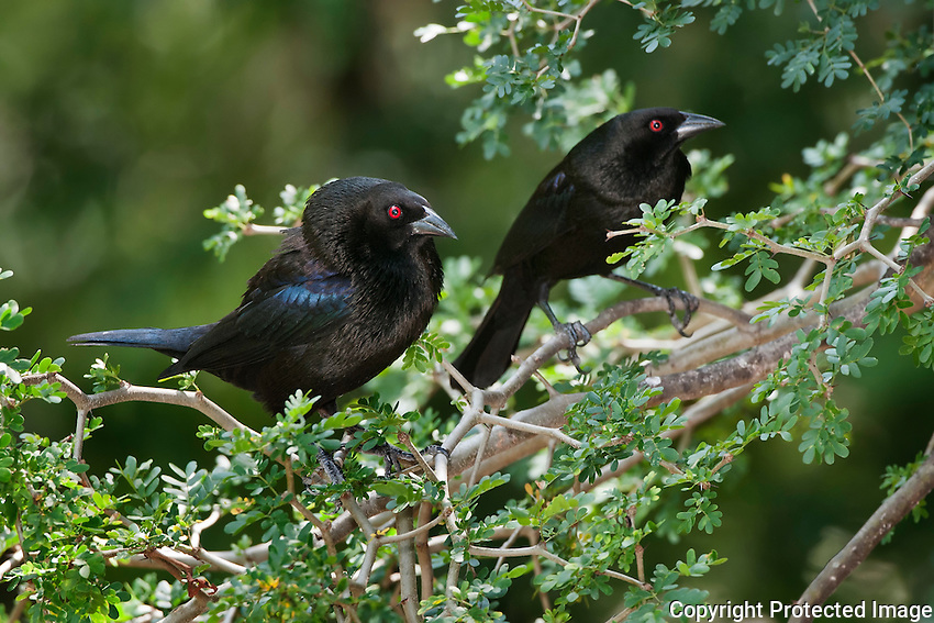 Bronzed Cowbirds in mating display