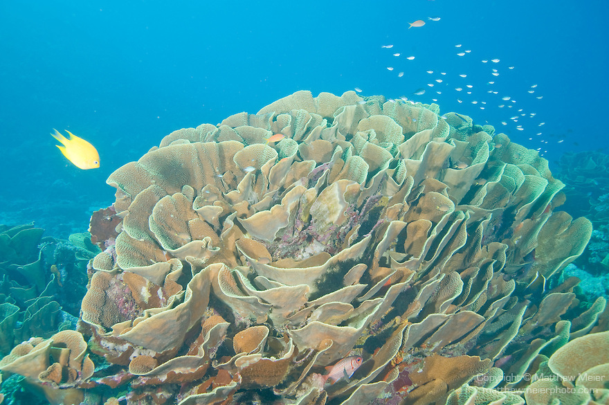Cabbage Patch, Rainbow Reef, Somosomo Strait, Fiji; a Golden Damsel (Amblyglyphidodon aureus) fish swims above a gigantic proliferation of cabbage or scroll coral, Turbinaria reniformis