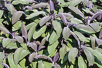 Salvia officinalis 'Purpurascens' culinary sage herb