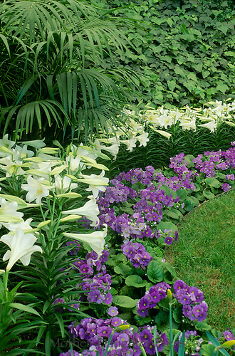 "Primula Obconica ""Juno Blue"" and Easter Lilies, Calaway Gardens, Georgia"