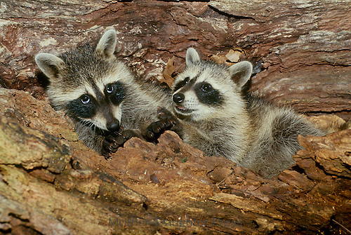 Two cute raccoon pups play and cuddle inside a hollow log in the garden, Missouri USA