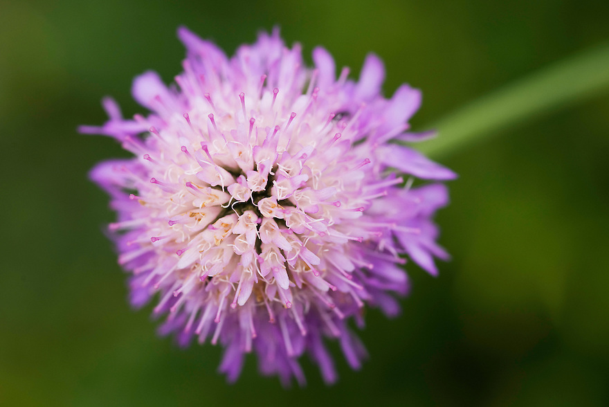 Pincushion flower (Scabiosa sp.), blossom<br /> Triglav National Park, Slovenia<br /> August 2009