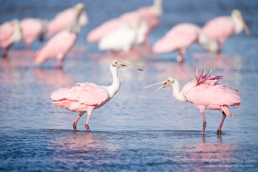 Ding Darling National Wildlife Refuge, Sanibel Island, Florida; a pair of Roseate Spoonbill (Ajaia ajaja) birds square off, while standing in the shallow water, in an apparent territorial dispute, while other birds forage for food in the background © Matthew Meier Photography, matthewmeierphoto.com All Rights Reserved