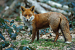 Red Fox, Vulpes vulpes, Blean Woods, Kent, Captive alert looking for danger .United Kingdom....