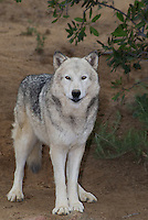 694920023 a captive female gray wolf lair canis lupus at the wildlife waystation wildlife recovery and care facility in southern california