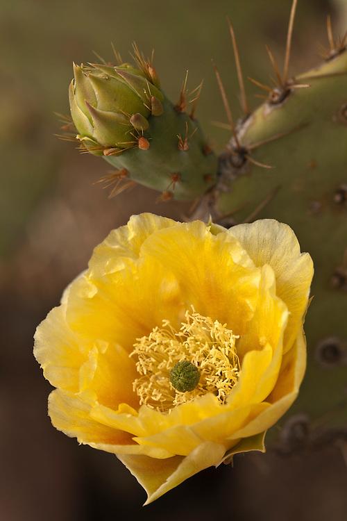 Single bloom of Englemann's prickly pear cactus (Opuntia englemannii) near the Barnhardt Trail