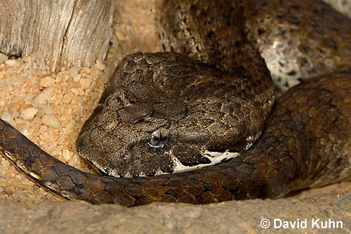 0122-08vv  Northern Death Adder - Acanthophis antarcticus © David Kuhn/Dwight Kuhn Photography